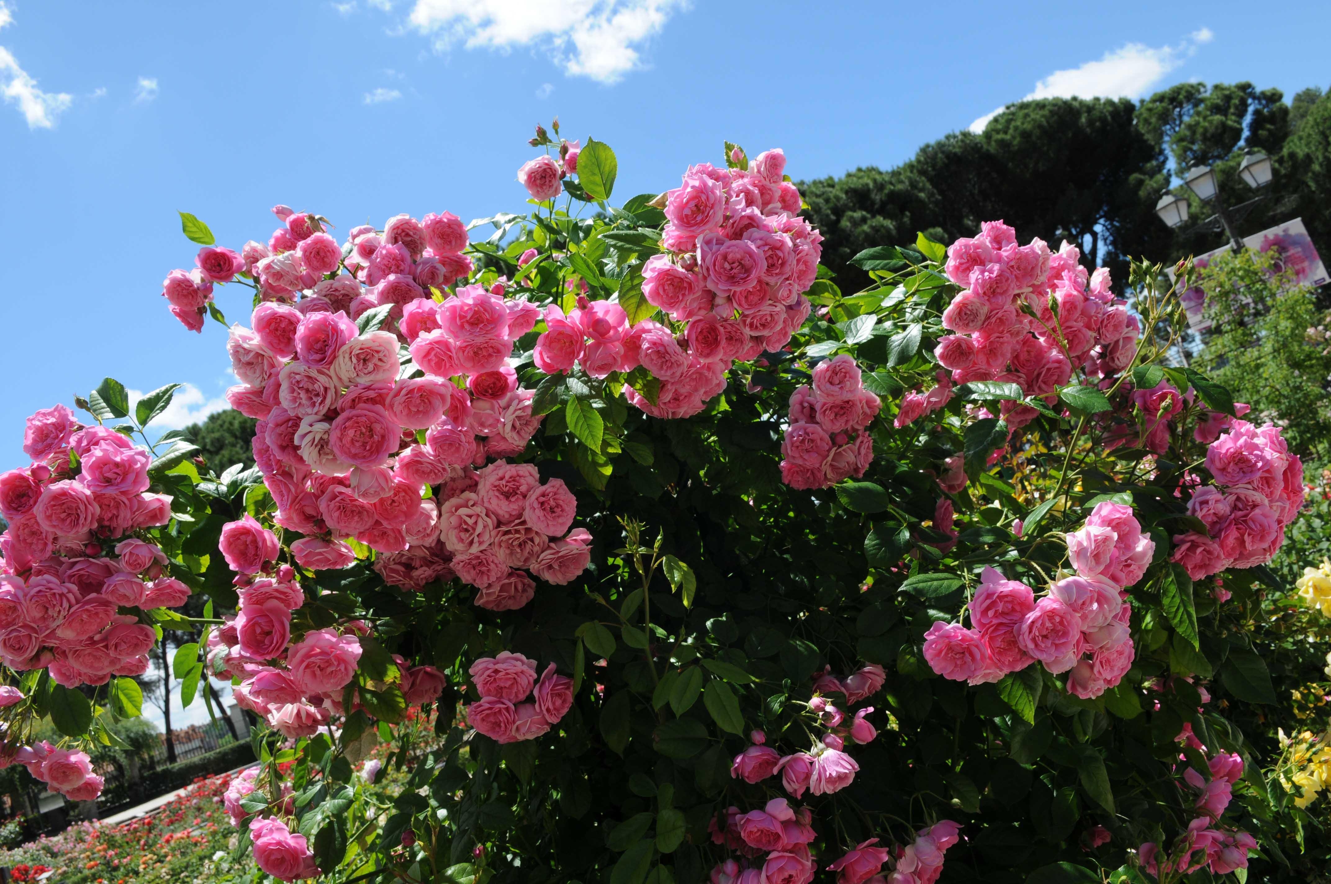 Un rosal franc s gana el concurso rosas nuevas villa de for Viveros el rosal